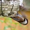 Chestnut-Backed Chickadee<br /> 16 APR 2013