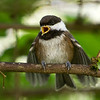 Chestnut-Backed Chickadee<br /> 03 JUN 2013
