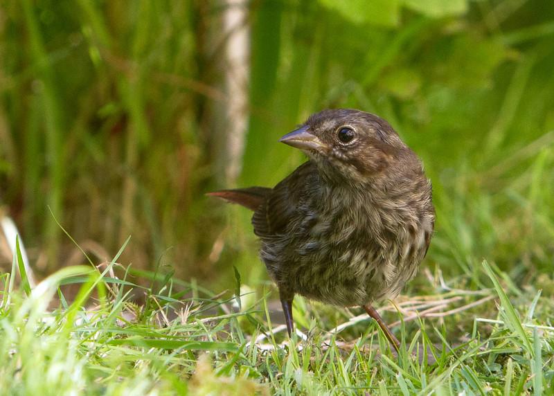 Song Sparrow<br /> 03 JUN 2013