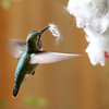 Anna's Hummingbird<br /> 25 MAR 2013