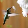 Anna's Hummingbird<br /> 25 MAR 2013
