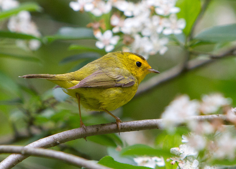 Wilson's Warbler<br /> 20 MAY 2013
