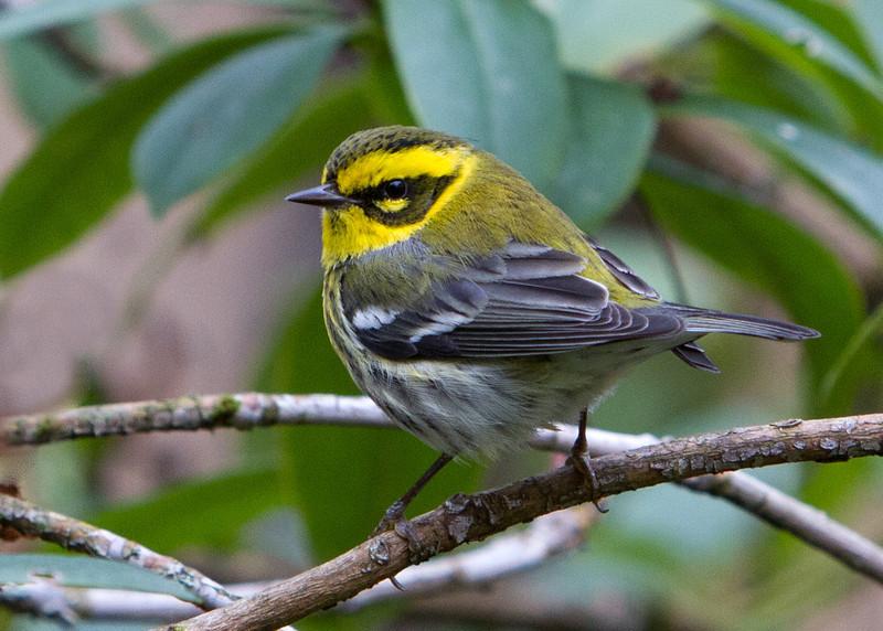 Townsend's Warbler<br /> 18 FEB 2013