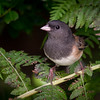 Dark-Eyed- Junco