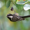 Black-Capped Chickadee<br /> 02 JUL 2013