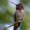 Anna's Hummingbird<br /> 19 SEP 2013