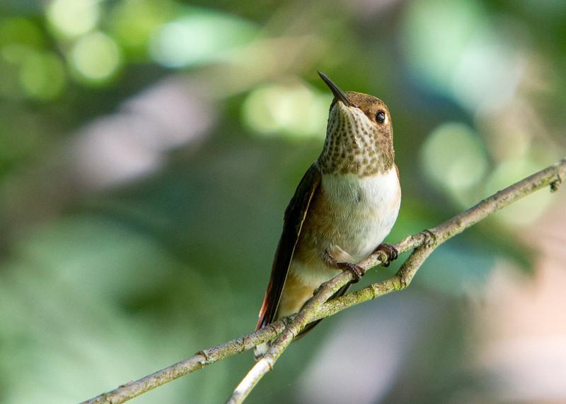Rufous Hummingbird<br /> 15 JUL 2013