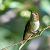 Rufous Hummingbird<br /> 15 JUL 2013