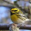Townsend's Warbler<br /> 03 JAN 2013