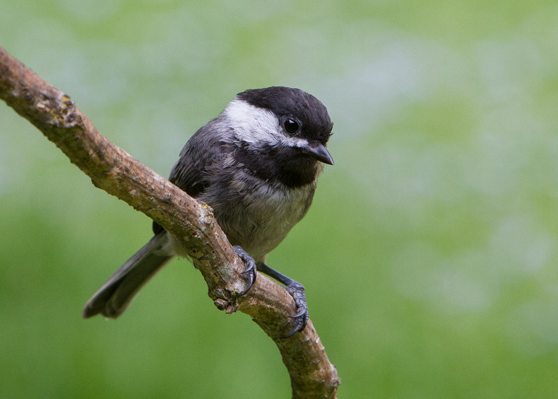 Black-Capped Chickadee<br /> 17 JUL 2013