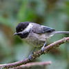Black-Capped Chickadee<br /> 04 JUL 2013