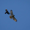 Red-Tailed Hawk and American Crow
