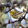 Townsend's Warbler<br /> 01 JAN 2013
