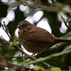 Song Sparrow<br /> 11 APR 2013