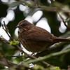 Song Sparrow<br /> 11 APR 2013
