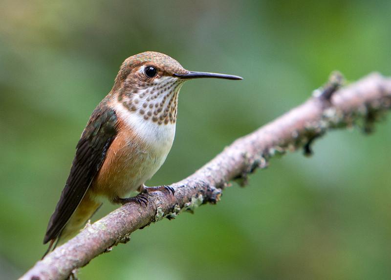 Rufous Hummingbird<br /> 18 JUL 2013
