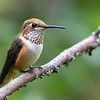 Rufous Hummingbird<br /> 18 JUL 2013