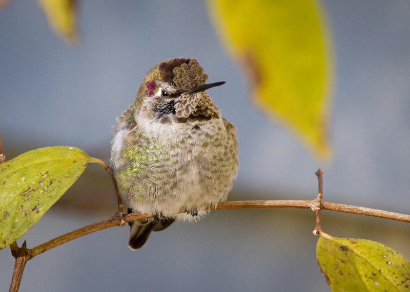 Anna's Hummingbird BUY PHOTOS