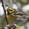 Townsend's Warbler<br /> 07 MAR 2013