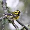 Townsend's Warbler<br /> 04 DEC 2012
