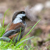 Chestnut-Backed Chickadee<br /> 16 APR 2013