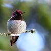 Anna's Hummingbird<br /> 12 JAN 2013