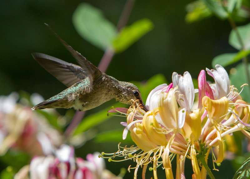 Anna's Hummingbird<br /> 10 JUN 2013