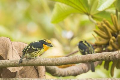 Gilded Barbet - Sumaco, Ecuador