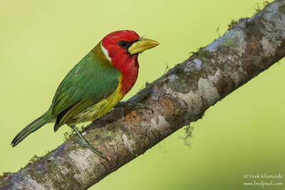 Red-headed Barbet - Mindo, Ecuador