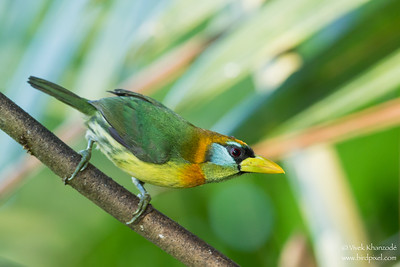 Red-headed Barbet - Mindo, Ecuador