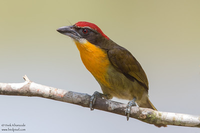 Scarlet-crowned Barbet - Amazon, Ecuador