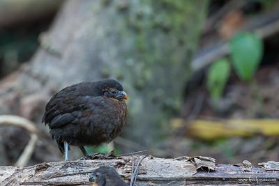 Dark-backed Wood-Quail - Mindo, Ecuador