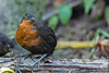 Dark-backed Wood-Quail - Mindo, Ecuador