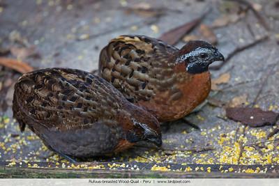 Rufous-breasted Wood-Quail - Peru