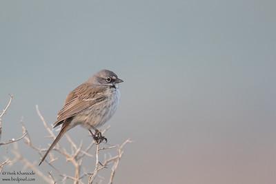 Bell's Sparrow - Taft, CA, USA
