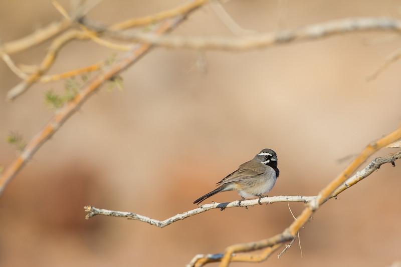 Black-throated Sparrow - Salton Sea, CA, USA