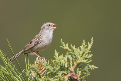 Brewer's Sparrow - Kyburz Flats, Near Sierraville, CA, USA