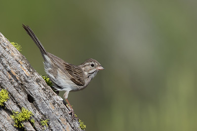 Brewer's Sparrow - OR, USA