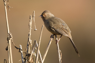 California Towhee - Alviso, CA, USA