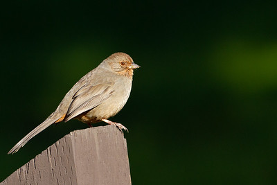 California Towhee - Hayward, CA, USA
