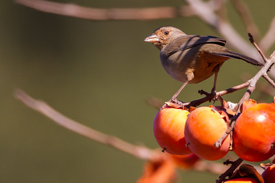California Towhee - Cupertino, CA, USA