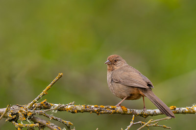 California Towhee - San Jose, CA, USA