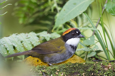 Chestnut-capped Brush-Finch - Cabanas Los Quetzales, Guadalupe, Panama