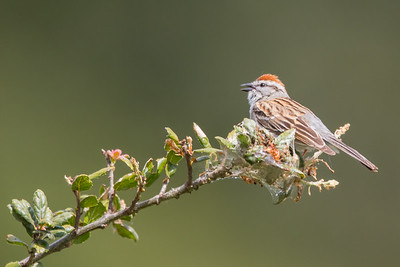 Chipping Sparrow - Point Reyes, CA, USA