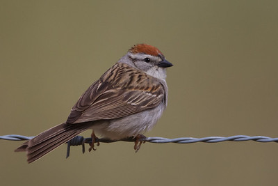 Chipping Sparrow - Sunol-Ohlone Regional Wilderness, Sunol, CA, USA
