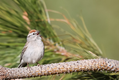 Chipping Sparrow - Wuksachi Lodge, Sequoia National Park, CA, USA
