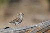 Chipping Sparrow - OR, USA