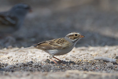 Clay-colored Sparrow - San Pedro House, Sierra Vista, AZ, USA