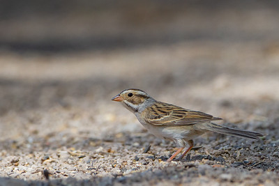 Clay-colored Sparrow - Sierra Vista, AZ, USA