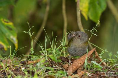 Dusky Bush-Tanager - Mindo, Ecuador
